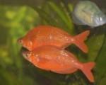 Glosolepis wanamensis 1