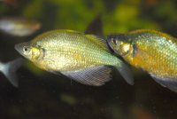 Glosolepis wanamensis 2