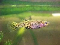 P_caudimaculatus_female