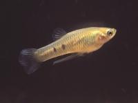 P_caudimaculatus_male